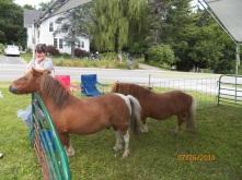 Petting Zoo Mini-horses